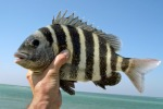 Sheepshead, courtesy forshorefishing.blogs.theledger.com