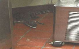 gator-at-wendys-1000